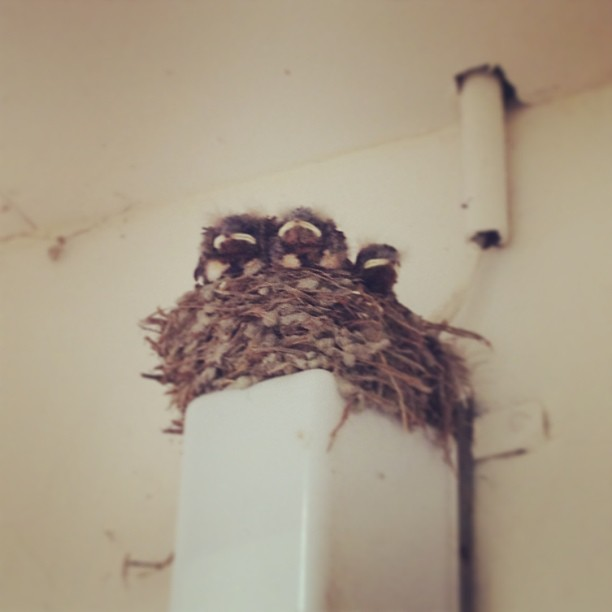 Baby swallows - from Instagram
