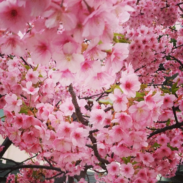 Cherry blossoms - from Instagram
